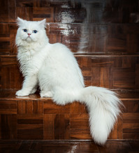 White And Blue Eyes Persian Cats