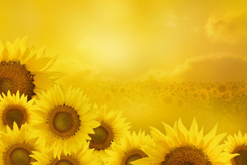Obraz na Plexi Sunflowers Background
