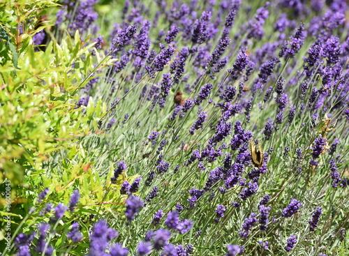 Tuinposter Lavendel lavande