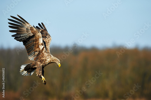 Poster Eagle White-tailed eagle