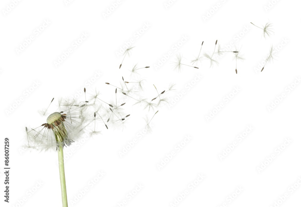 Fototapety, obrazy: Dandelion, Wishing, Blowing.