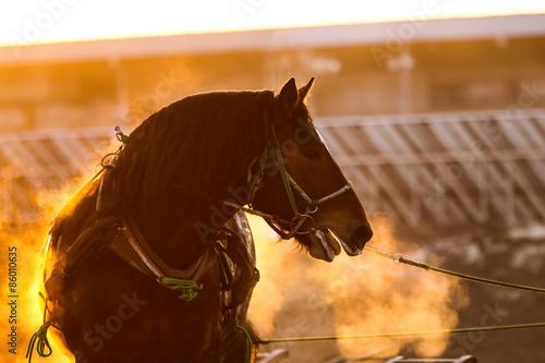 Fotografia 競馬場の馬
