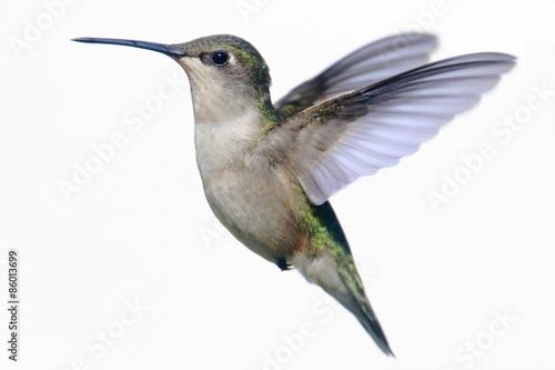 Sticker - Isolated Ruby-throated Hummingbird