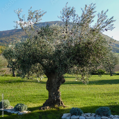 Tuinposter Olijfboom Centenary olive tree in Drôme provençale