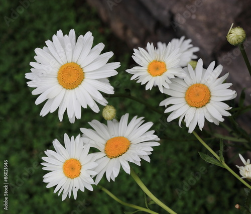 Papiers peints Marguerites bouquet de marguerites
