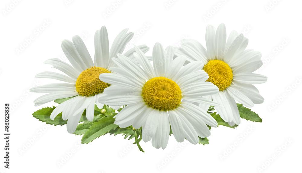 Fototapety, obrazy: 3 chamomile composition isolated on white background