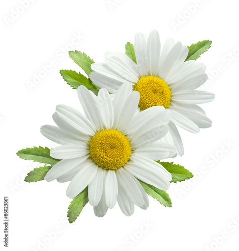 Double vertical chamomile composition isolated
