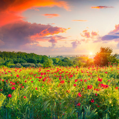 Fototapeta Dramatic sunrise overcast over the meadow of wheat and poppies