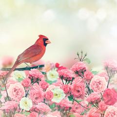 Fototapeta Ptaki Red Cardinal In Rose Garden