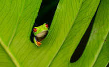 Just Hanging Around, A Red Eyed Tree Frog Looking Out Between A Plant Leaf