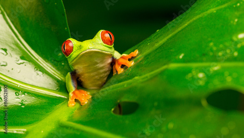 Tuinposter Kikker Hi there! red eyed tree frog peeking over a leaf