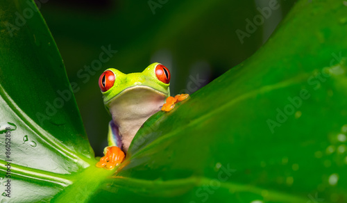 Hi there! red eyed tree frog peeking over a leaf