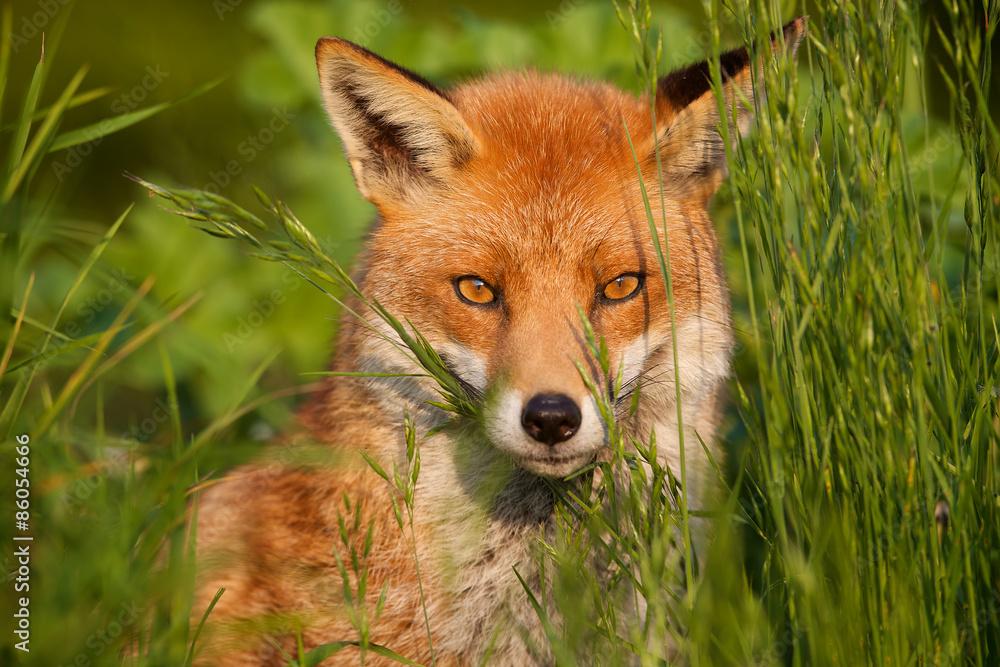Fototapety, obrazy: red fox