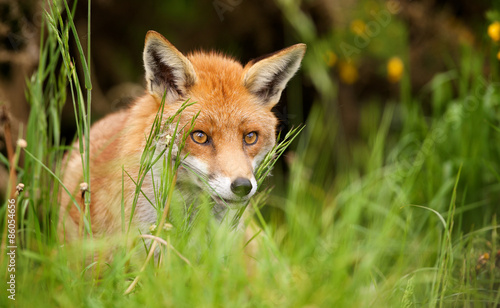 Vászonkép red fox