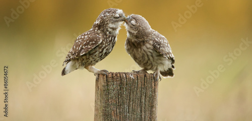 In de dag Uil Little owl kissing