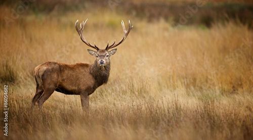 Poster Cerf Red deer stag