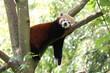 Panda Roux Sieste