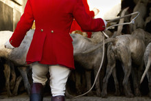 Foxhounds In Trailer With Hunter In Traditional Clothing