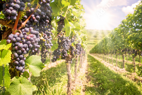 Tuinposter Wijngaard Close up on black red grapes in a vineyard with sunshine