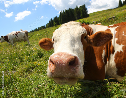 Fotomural big cow snout photographed with fisheye lens in mountains