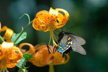 Butterfly On Wild Lily