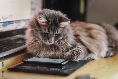 fototapeta na szkło Puszysty kot oglądanie na ekranie smartfonu