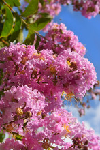 Unusually Inflorescence By Pink Color Of Lagerstroemia Indica (crape Myrtle, Crepe Myrtle) Against The Blue Sky