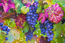 Grapes And Colorful Autumn Lea...