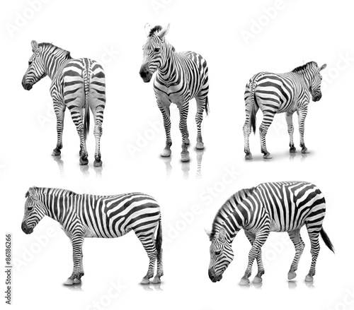 Photo Stands Zebra Zebras in many angle and poses, isolated in white background