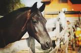 Piękny koń czystej krwii