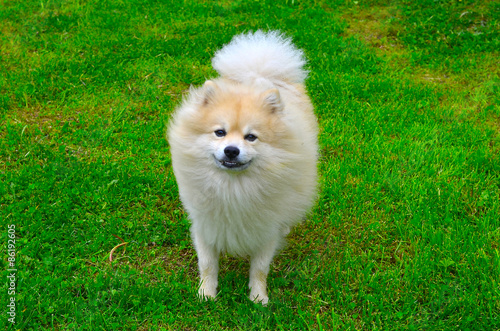 Montage in der Fensternische Hund Dog German Spitz