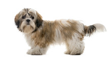 Shih Tzu In Front Of A White B...