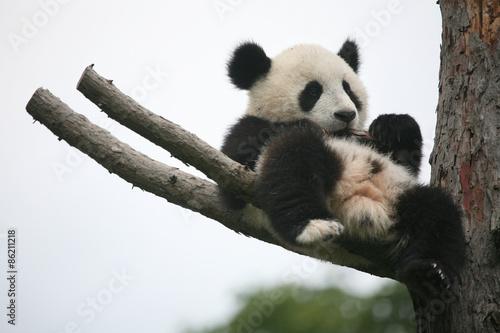 Poster Panda Giant panda cub (Ailuropoda melanoleuca).