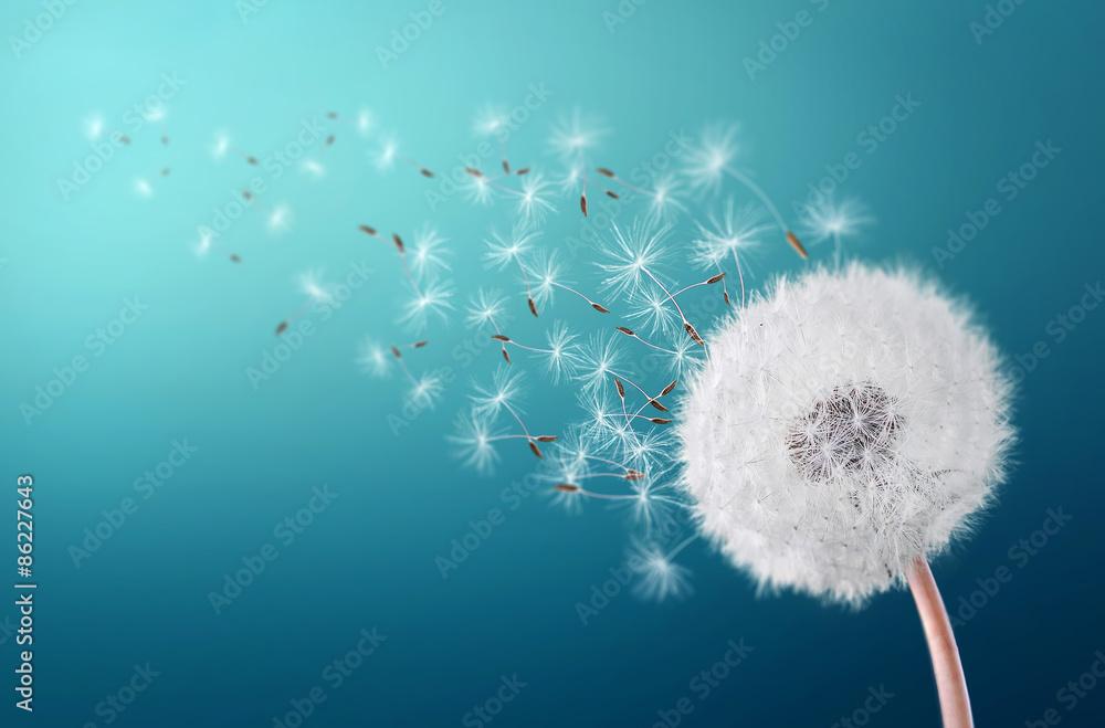 Fototapety, obrazy: Dandelion field