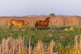Konie galopujące po polanie