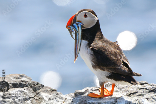 Atlantic puffin, Farne Islands Nature Reserve, England Fototapet