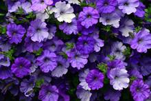 Purple Petunia Flowers In Full Bloom