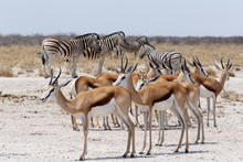 Herd Of Springbok And Zebra In Etosha
