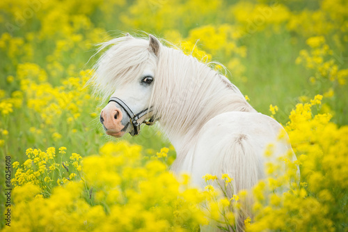 Obraz na płótnie Portrait of white shetland pony looking back