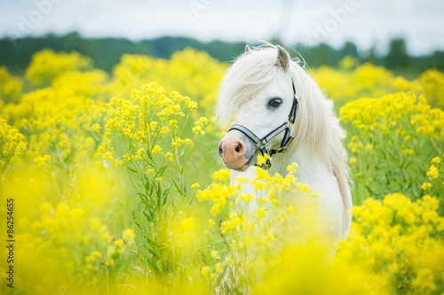 Obraz na plátně White shetland pony on the field with yellow flowers