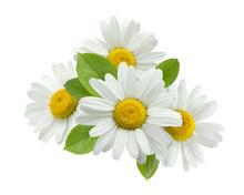 Chamomile Daisy Group Leaves I...