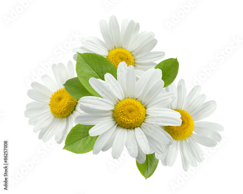 Leinwand Poster Chamomile daisy group leaves isolated on white