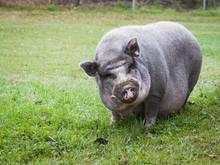 Vietnamese Pot-bellied Pig As A Pet