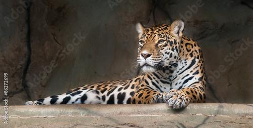 In de dag Panter American Jaguar