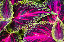 Close Up Of Coleus Leaves (Pai...