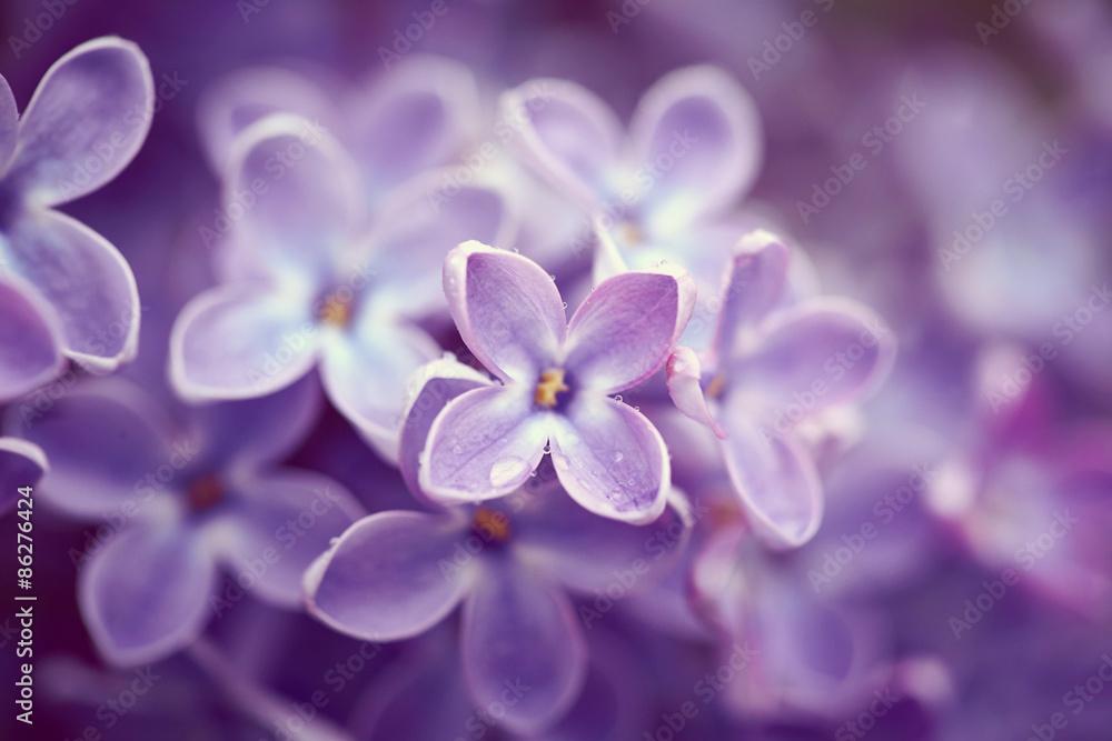 Fototapety, obrazy: Kwiaty bzu