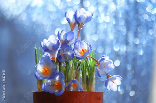 Fototapety, obrazy: tender spring flowers wild