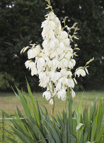 White flowers of yucca filamentosa buy this stock photo and white flowers of yucca filamentosa mightylinksfo