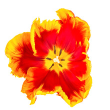 Parrot Tulips Isolated On Whit...