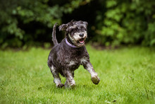 Happy Old Schnauzer Dog Runs Outdoors